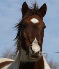 Paint Horse (chippewabear) Tags: horses horse indiana pony equine pinto paints galope paintedpony inhorse