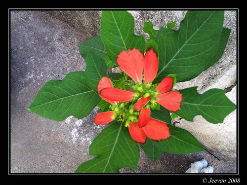Summer Poinsettia