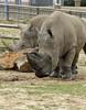 Rhinos  - Tulsa Zoo