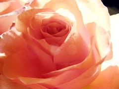 Diaphane (BrigitteChanson) Tags: flower fleur rose flor rosa fiore picturesque smrgsbord diamondclassphotographer flickrdiamond macromarvels