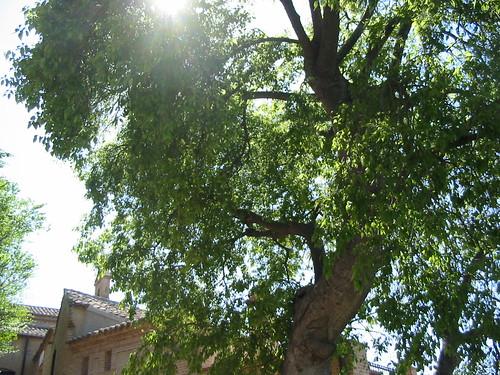 Gran almez (Celtis australis) en la ermita del Valle, Toledo (España)