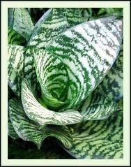Sansevieria trifasciata 'Silver Hahnii' (Silver Birdnest Sansevieria, Silver Bird's Nest Snake Plant) in our garden