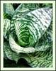 Sansevieria trifasciata 'Silver Hahnii' (Silver Birdnest Sansevieria, Silver Bird's Nest Snake Plant)