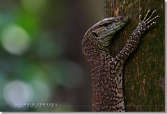 Hang in there! (Shabbir Ferdous) Tags: nature photographer wildlife bangladesh komododragon bangladeshi varanidae goannas monitorlizards canoneosrebelxti varanusbengalensis monotypic shabbirferdous bengalmonitorlizard guishaap goshaap sigmazoomtelephoto70300mmf456apodgmacro wwwshabbirferdouscom shabbirferdouscom