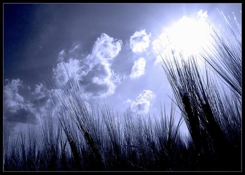 In the Wheat Field - Nel campo di Frumento