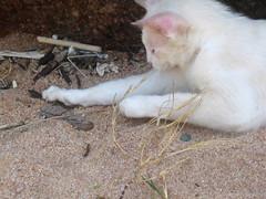 Le chat de Cala Grande et ses lézards