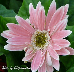 Pretty in Pink (chippewabear) Tags: pink flowers blossom gerbera daisy bloom gerberadaisy thepoweroftheflower auniverseofflowers