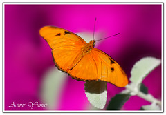 Julia Butterfly (Dryas julia) (Aamir Yunus) Tags: amazing interesting sharp soe oneinamillion golddragon diamondclassphotographer flickrdiamond