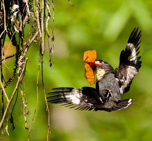 Corydon Sumatranus Madi Hitam
