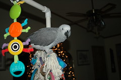 Pretty girl (greytvet02) Tags: holiday parrot jinx