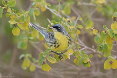 Kirtland's Warbler (Noah Frade) Tags: bird birding birdphotography rare florida billbaggscapefloridastatepark keybiscayne nature wildlife outdoors kirtlandswarbler setophagakirtlandii