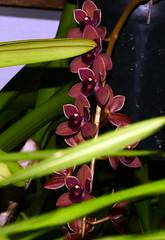 Cymbidium Dorothy Stockstill 'Forgotten Fruit' hybrid orchid (nolehace) Tags: winter nolehace fz1000 flower bloom plant outdoor cymbidium dorothy stockstill forgotten fruit hybrid orchid 217 sanfrancisco