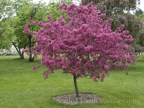 Prairifire crabapple tree