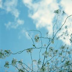 sakura (Hiroyuki Okamoto) Tags: 120 tlr film boston rollei analog geotagged ma medium publicgarden xenar rolleicord f35 75mm fujifilmpro160s geo:lat=42354512625903176 geo:lon=7106642555861362