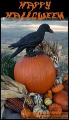 Happy Halloween! (Rebecca) Tags: black bird halloween pumpkin crow raven myfrontyard