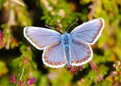Silver-studded Blue (Roger's Photos59) Tags: nature cornwall wildlife butterflies insects naturescall amazingtalent anawesomeshot aplusphoto macrophotosnolimits ilovemypic naturewatcher treeofhonour rogersphotos59
