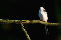 Adelr_20071020_020-Edit (reneadelerhof) Tags: bird vogel staartmees