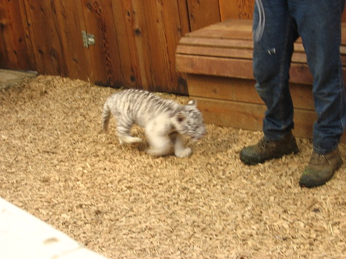 I petted the white bengal tiger cub