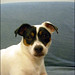 "Project 365 - Day 202 - ""Zoe the Jack Russell"""