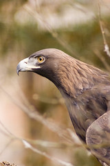 Golden Eagle (the_mog) Tags: dundee raptor goldeneagle camperdownpark specanimal avianexcellence justpentax