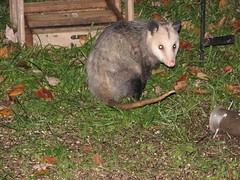 teenage possum