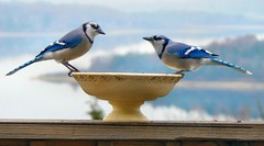 (Lollie Dot Com) Tags: blue bird birds jay bluejay bluejays featheryfriday lolliedotcompix abigfave p1350127nncc