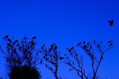 a murder at dusk (♫ marc_l'esperance) Tags: road blue trees sky black bird beach nature birds silhouette flying dallas wings dusk branches © victoria landing 10d perched crow flapping crows nocrop bushes uncropped allrightsreserved nightfall 2007 cml dallasroad crd canonef1635mmf28lusm