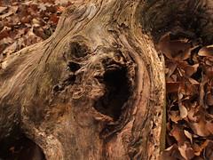 Tree Trunk 1 (Tim-Photography) Tags: autumn treetrunk oldwood sittard danikerbos