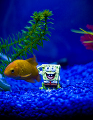 8/366 Spongebob reporting for duty, sir (petervanallen) Tags: 50mm aquarium nikon goldfish lucky spongebob nikkor f18 squarepants d80 petervanallen