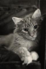 Baby Vico (kekyrex) Tags: cats animals kittens kitties felines