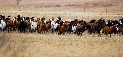 gathering mares 079