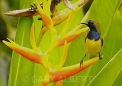 Olive-backed Sunbird (Nectarinia jugularis) (GARY ALBERT NATUREPIX) Tags: olivebackedsunbird cinnyrisjugularis nectariniajugularis