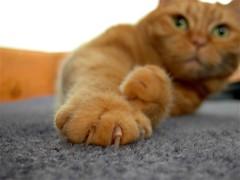 Get a grip (Mrs eNil) Tags: red orange cats yellow cat ginger orangecat kitten martha kitty kittens greeneyes claw kitties redtabby gingercat gingercats yellowtabby orangekitty gingertabby bestofcats