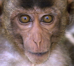 Ugly Macaque (Troup1) Tags: nature animals monkey brillianteyejewel
