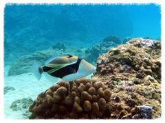 Triggerfish at Black Rock (LarrynJill) Tags: ocean travel sea usa fish water coral hawaii underwater dive scuba diving maui 2008 triggerfish
