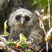 Barred Owl nestling
