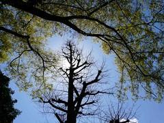 uenosakura (70) (davidjapan) Tags: park cherry ueno blossom sakura hanami kirschbluete