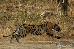 Charge of the tiger (dickysingh) Tags: india nature cat outdoor wildlife bigcat aditya predator ranthambore singh ranthambhore dicky tigerreserve wildtiger pantheratigristigris tigerleap adityasingh ranthamborebagh theranthambhorebagh tigercharge indiatiger tigeraction wwwranthambhorecom