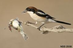 (N-S-S) Tags: bird birds sigma kuwait  800 nasser 800mm d300  nss    vwc    d2xs     kvwc  alsolihem