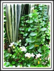 Cuphea hyssopifolia 'Alba'