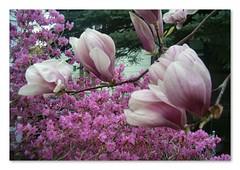 Spring Profusion (capegirl52) Tags: beauty purple azalea tuliptree excellentphotographerawards