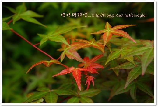 20080503楓紅_016