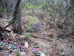 Sur le sentier Vacca - Bocca di Tonnari : fin de parcours forestier fleurie