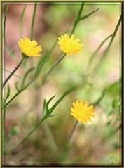 A Soft & Sweet Yellow Memory - Small Wildflowers (! Artist - Carolyn Hietala ! (painting)) Tags: county morning sun sunlight plant color macro green nature yellow botanical happy virginia soft flickr little cloudy blossom bokeh framed pastel small richmond tiny memory pastels cropped wildflowers triplets cheerful canonrebelxt chesterfield blooming patchy aworkofart sigma150 hietala carolynhietala fullsetting