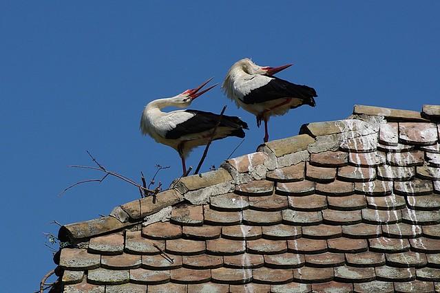 Le couple de cigogne
