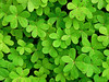 Tapiz (Maite Mojica) Tags: tapiz alfombra hojas vinagrillo agrillo vinagreta oxalis pescaprae verde hierba campo