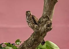 Posing.. (Modestus Lorence) Tags: f28isii 300mm markii 7d canon north bedok singapore goshawk hawk eagle birds animals