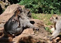 Macaca sylvanus - Macaque de Barbarie ou Magot ou Macaque berbère - Barbary macaque - 22/06/16 (Philippe_Boissel) Tags: macacasylvanus macaquedebarbarie macaque magot macaqueberbère barbarymacaque singe primates cercopithecidae cercopithecinae captive 0097 mammals mammifère