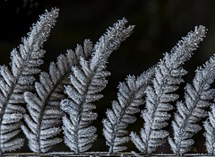 Frosted ferns (Notkalvin) Tags: frost fern cold winter outdoor plant notkalvin mikekline notkalvinphotography explore explored flickrexplore thankyou