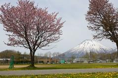 喜茂別中の桜と羊蹄山